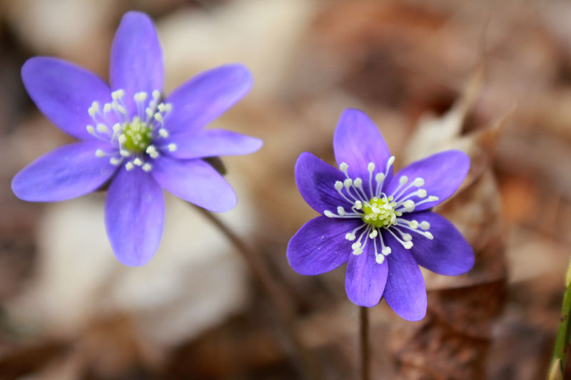 Spring is coming! Beauty In Nature Blooming Close-up Day Dry Leafs Flower Flower Head Fragility Freshness Growth Hepatica Kevät Kukka Leafs Nature No People Outdoors Petal Plant Purple Sinivuokko Spring