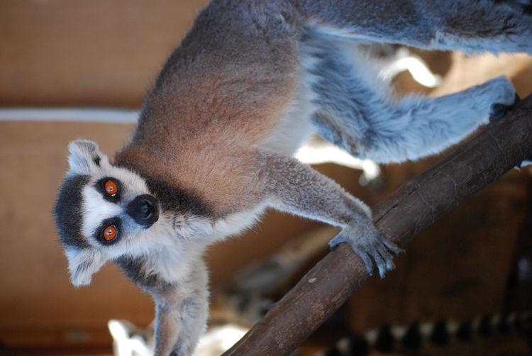 Portrait of lemur on wood