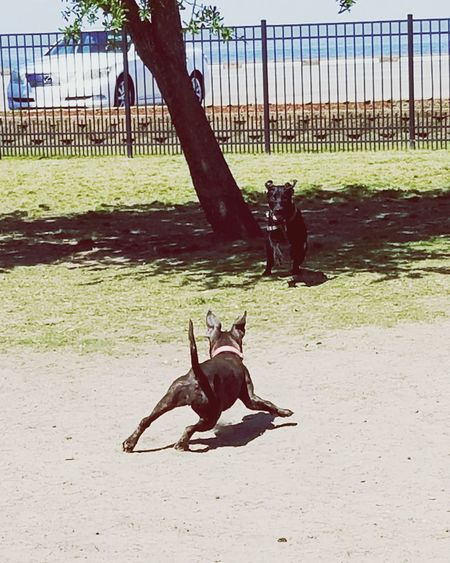 JuJuBeans and her puppyfriend Zelda Puppy Love Dog Love Puppies Of Eyeem Puppies Playing Chase Tagyoureit Puppyplaytime Dogpark Puppylife Playing Games Playing With My Dog Pitbull Babypittbull Babylabrador 5monthsold 2puppies Friendship Dogs Of EyeEm Play Playingdogs Babypitbull Puppy❤ Fun Full Length Tree Sand Sky Chainlink Fence Fence