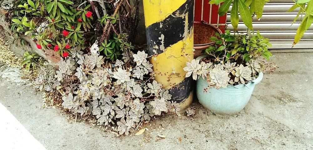 路邊恣意綻放的石蓮花
