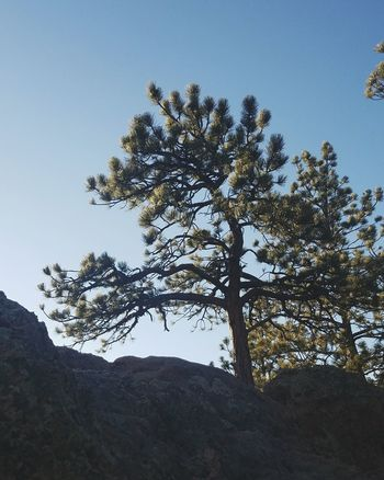Pine Tree Pinaceae Tree Nature No People Outdoors Sky Beauty In Nature Day Fort Collins, Co Colorado Horsetooth Backgrounds Beauty In Nature Sunset Tree Landscape Abstract Leaf Silhouette Branch Pattern Lights And Shadows