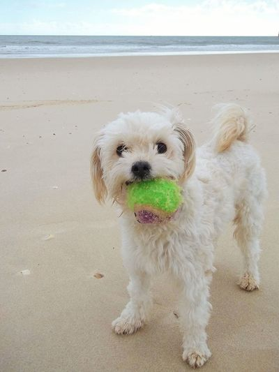 Beach Dogs Life Of Dogs Cute Dog  Dog On The Beach Dog With A Ball Cute Dog On A Beach With Ball Animal Themes