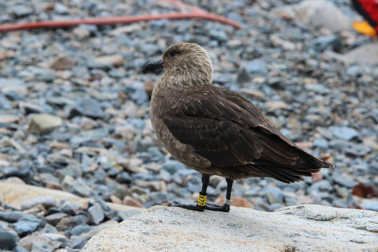 Animal Wildlife Animals In The Wild Animal Bird Vertebrate Animal Themes One Animal Solid Rock Focus On Foreground Rock - Object Day Perching Close-up Full Length No People Nature Sparrow Stone - Object Outdoors Pebble Skua Antarctica Antarctic Bir Patagonia Adventure