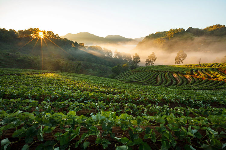 Agriculture Beauty In Nature Crop  Day Farm Field Fog Green Color Growth Landscape Mountain Nature No People Outdoors Plant Rice Paddy Rural Scene Scenics Sky Sunlight Sunset Tea Crop Tranquil Scene Tranquility Tree
