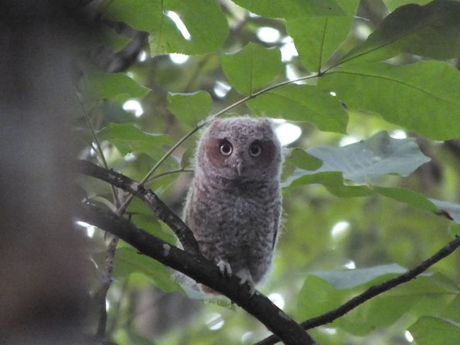 Animal Themes Animals In The Wild Bird Branch Close-up Day Nature No People One Animal Outdoors Owl Owlets Owls💕 Perching Tree