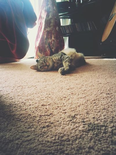 Cat relaxing on carpet with music Hanging Out Enjoying Life Pets, Cat In Heaven, Kitty Cat Indoors  Striped,