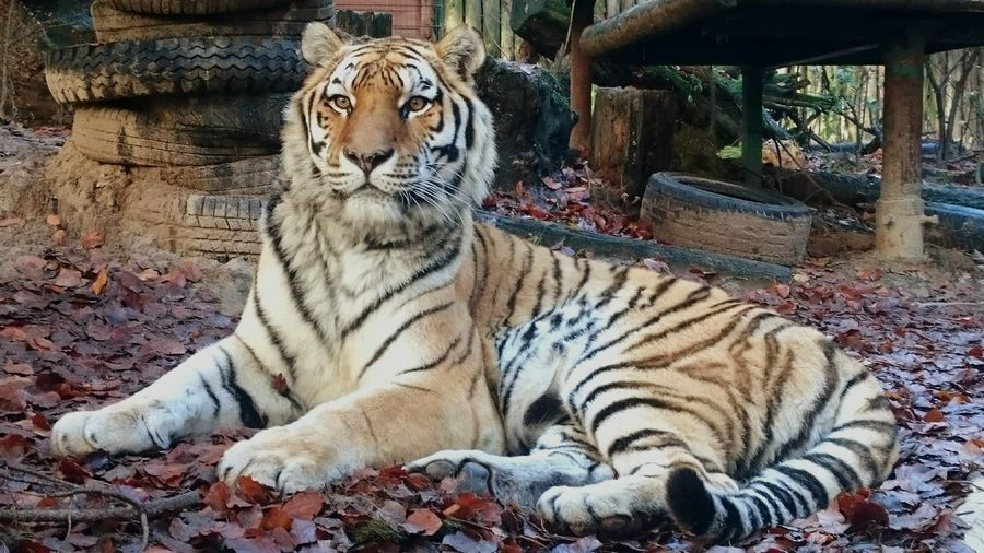 Tiger One