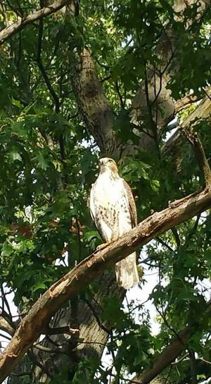 Beautiful falcon just outside my door. Tree Nature Branch Bird Animal Wildlife No People Outdoors Perching Bird Of Prey Beauty In Nature
