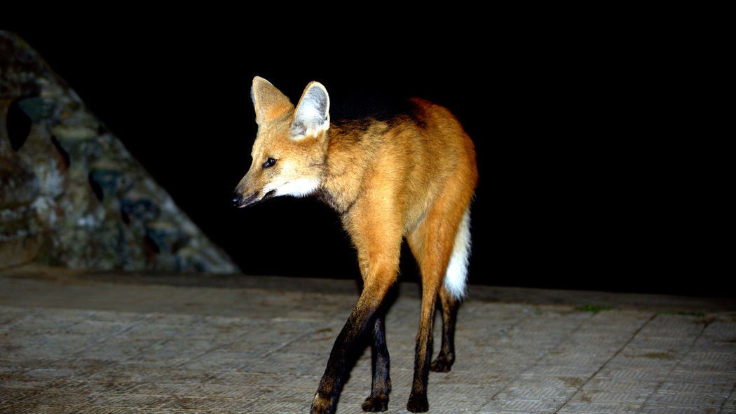Animal Animal Themes Animal Wildlife Animals In The Wild Brazilian Wolf Domestic Animals Focus On Foreground Footpath Fox Guará Wolf Looking Looking Away Mammal Nature Night No People One Animal Outdoors Side View Vertebrate