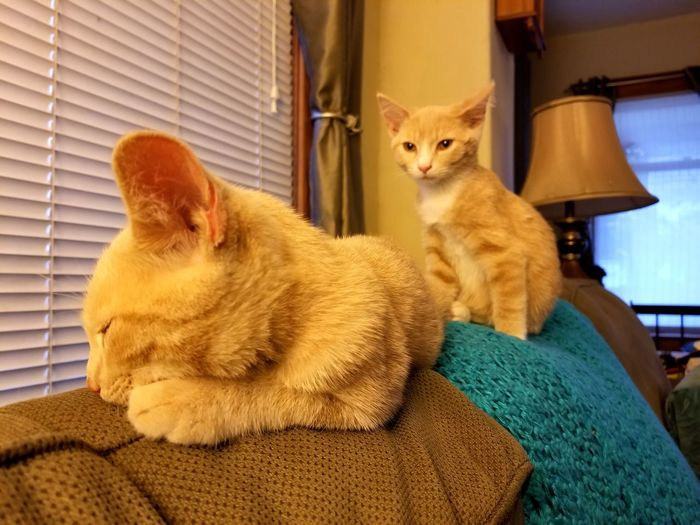Pets Ginger Cat