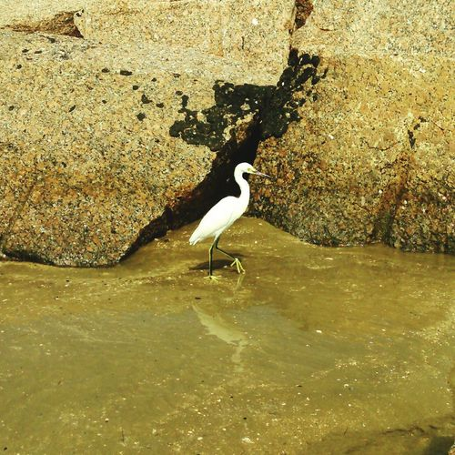Photo 2. The Snowy Egret is on the move