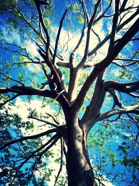 Tree Sky Blue Blue Sky Cloud Piauí Amarante Brasil Nature