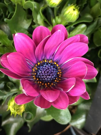 Fuschia flower Flower Petal Flower Head Fragility Beauty In Nature Nature Freshness Growth Pollen Blooming Plant Day No People Close-up Pink Color Outdoors Zinnia  Osteospermum IPhoneography Iphone7plusphotography
