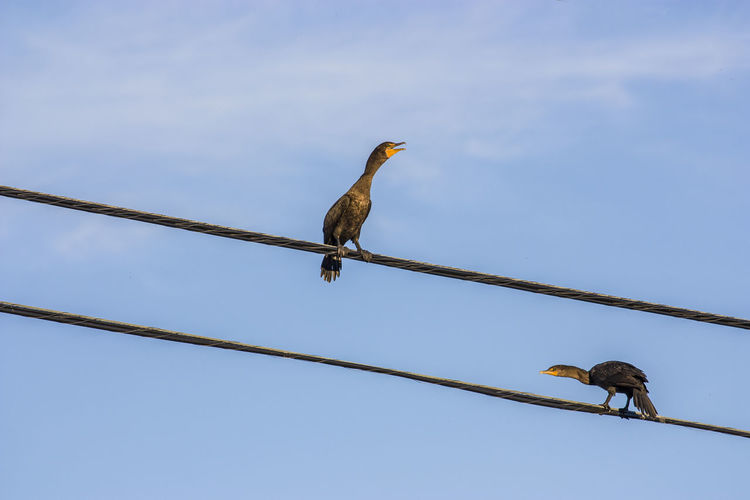 Low Angle View Of Birds Perching On Cable Against Clear Sky