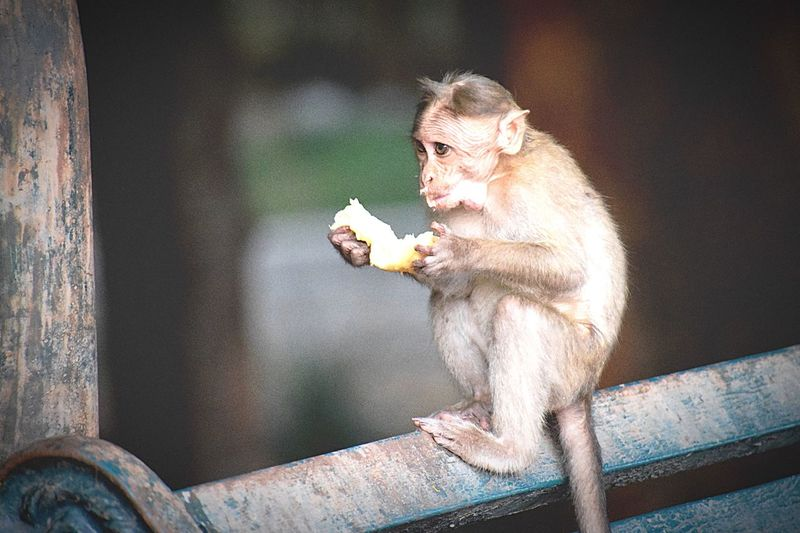 Close-Up Of Monkey Eating Outdoors