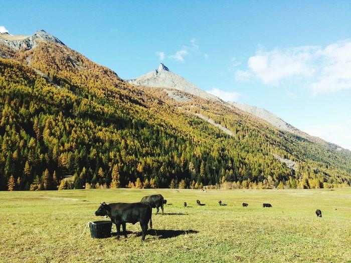 Vacca Mucca