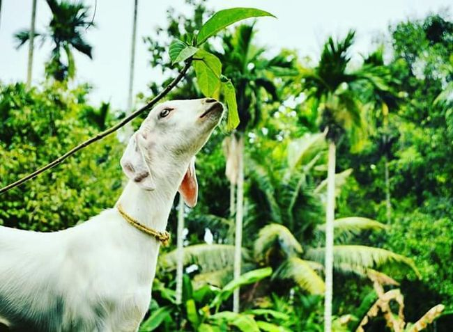 EyeEmNewHere One Animal Domestic Animals Leaf Tree Outdoors Day Animal Themes Nature Animal Mammal Pets No People Close-up Goat Grass