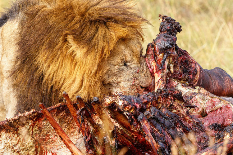 Male lion eating meat from a dead animal in africa
