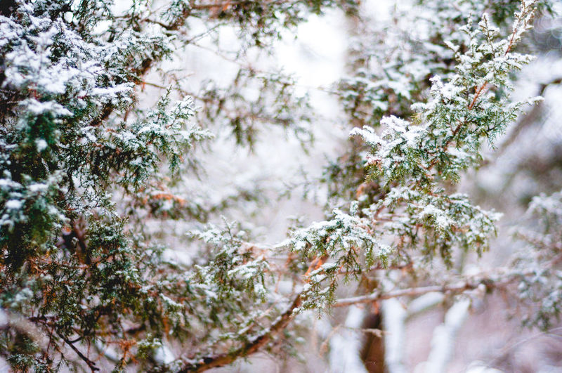 Close-up of pine trees on snow covered landscape