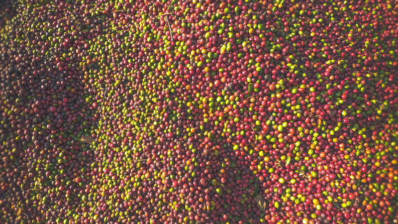 Abundance Backgrounds Beans Close-up Coffe Coffe Beans Day Drying Fresh Freshness Full Frame Harvest Harvest Season Outdoors Ripening Textured  Wwof