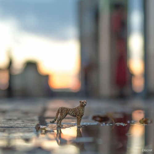 Chat Leopard Tigre Seine Et Marne