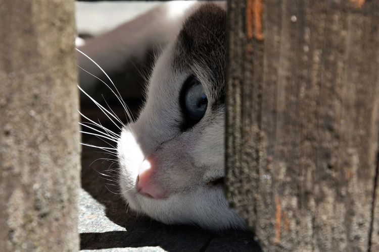 Blue eyes cat relaxing Relaxing Animal Animal Body Part Animal Eye Animal Head  Animal Themes Blue Eyes Cat Cat Close-up Day Domestic Domestic Animals Domestic Cat Feline Focus On Foreground Mammal No People One Animal Outdoors Pets Portrait Vertebrate Whisker