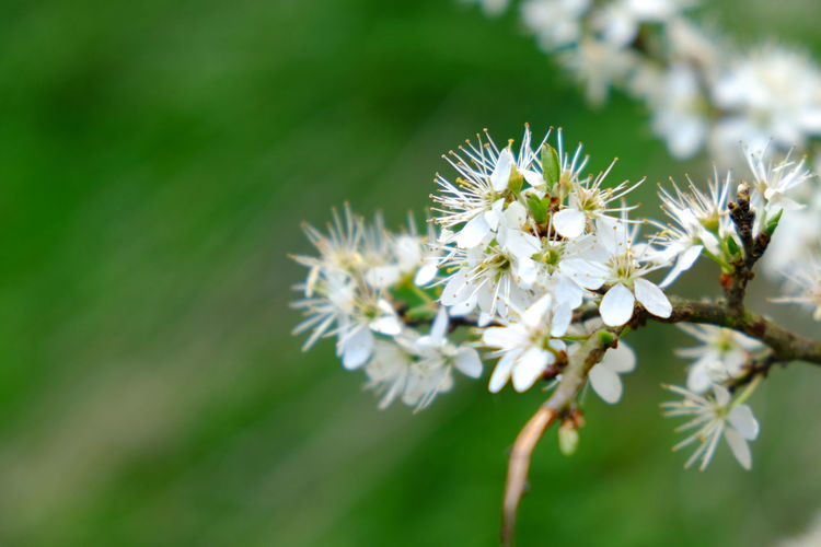 Flower Flowering Plant Plant Freshness Fragility Beauty In Nature Vulnerability  Growth Close-up White Color Petal Flower Head Selective Focus Day No People Nature Inflorescence Pollen Focus On Foreground Tree Outdoors Springtime Pollination Cherry Blossom
