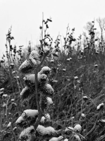 Black And White Friday Growth Focus On Foreground Nature Plant No People Outdoors Beauty In Nature Day Tranquility Close-up Fragility Flower Tree Sky Freshness Winter Wonderland