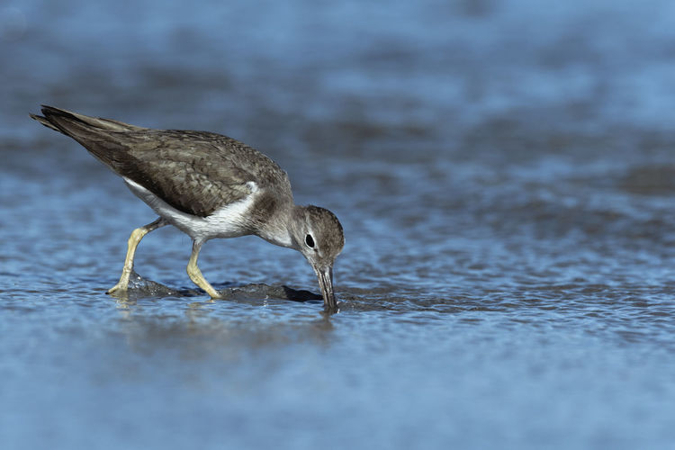 Curious young spotted sand piper hunts for breakfast on an early morning in Costa Rica Animal Animal Themes Animal Wildlife Bird Animals In The Wild One Animal Vertebrate Selective Focus Water No People Day Nature Sea Hunting Beach Close-up Outdoors Side View Full Length Searching