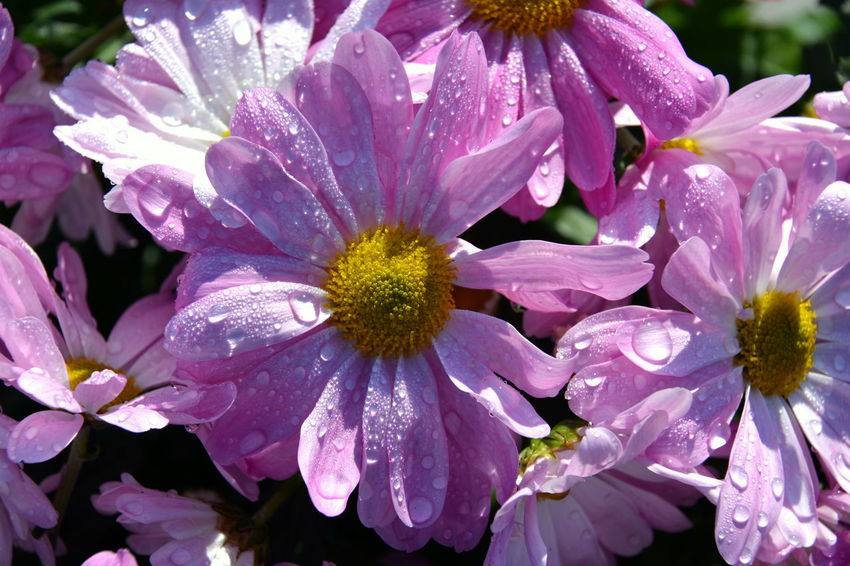 Raindrops The Week on EyeEm Background Backgrounds Beauty In Nature Blooming Close Up Close-up Day Flower Flower Head Flowers Flowers, Nature And Beauty Fragility Freshness Growth Macro Nature No People Outdoors Petal Plant Purple Raindrops On Flowers Summer