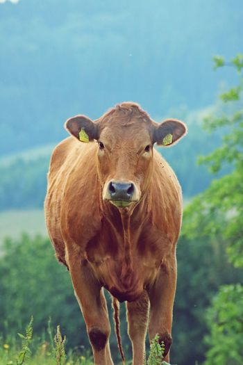 Animal Themes Domestic Animals Front View Herbivorous Looking At Camera Nature No People One Animal Sauerland Zoology Pet Portraits