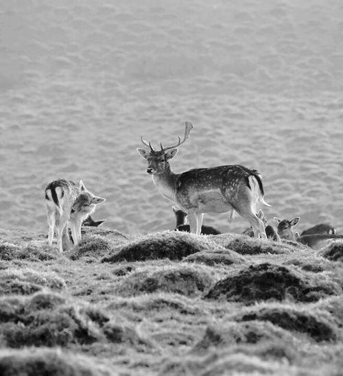 Fallow Deer Blackandwhite Nature Photography Showcase: March Fallowdeer Nature Mist Wildlife Wildlife & Nature Deer Full Frame Outdoors Outdoor Photography