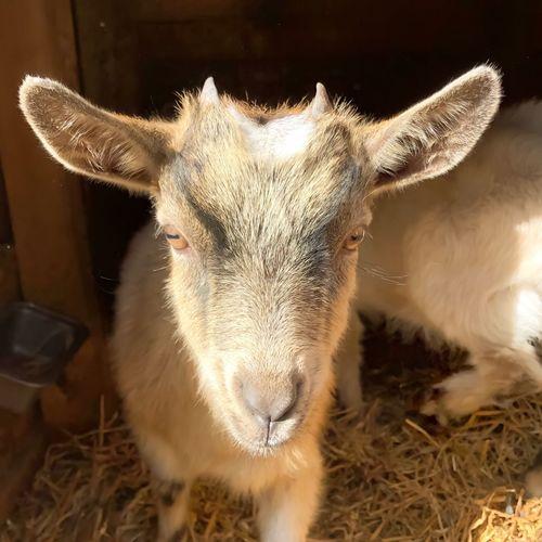 Baby goat :