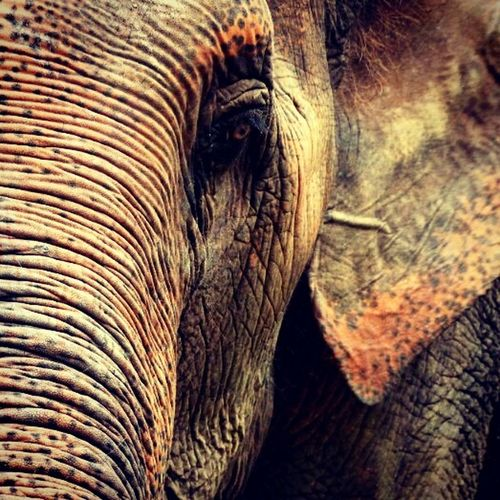 my old lady. Elephant Oldlady Thailand Elephantlove Hello World Sayhitothelife Little Girl Lovely Heartbeat Moments Lookather Sadeyes