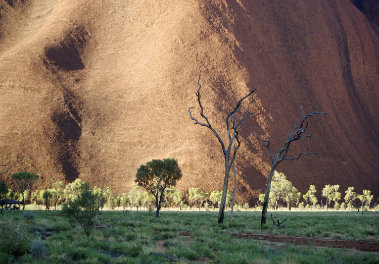 Landscape Environment Plant Nature Land Day Scenics - Nature Mammal No People Grass Animal Themes Animal Animal Wildlife Tree Travel Destinations Outdoors Field Tranquility Rural Scene Animals In The Wild Climate Semi-arid Arid Climate Uluru Australia Dead Tree