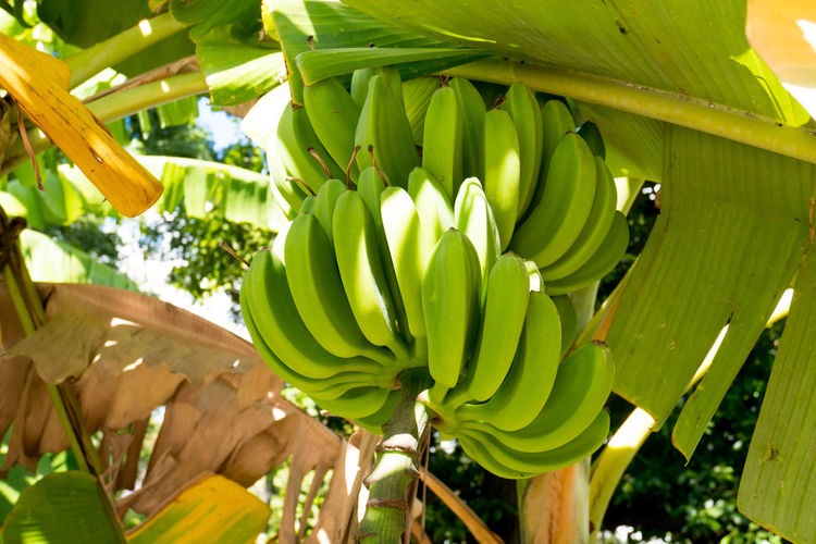 Cuba Havana Agriculture Banana Banana Leaf Banana Tree Food Freshness Fruit Green Color Growth Healthy Eating Leaf Nature Outdoors Tree