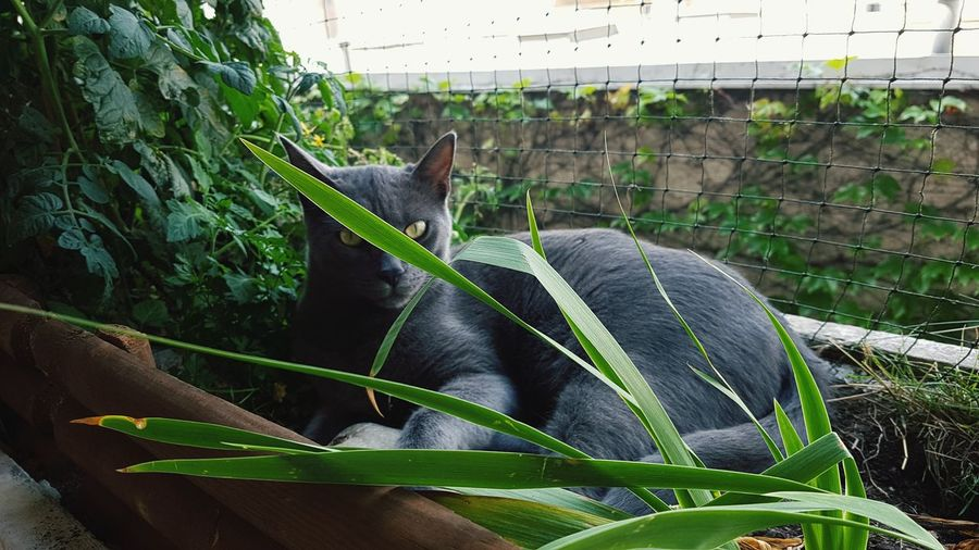 Black Panther Cat Plant Balcony Oasis Sunshine Vienna Vegetable Garden