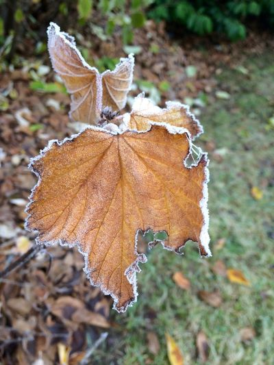Autumn time! Autumn Beauty In Nature Close-up Ice On Leaf Leaf Leaves Nature No People Old Leaf Outdoors Plant Senescence
