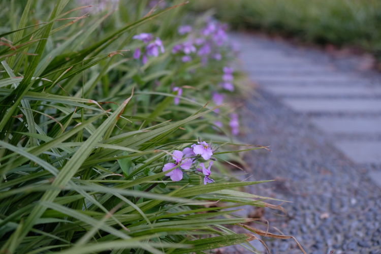 Small purple flowers beside the stone road. Beauty In Nature Blooming Close-up Crocus Day Flower Flower Head Fragility Freshness Grass Green Color Growth Nature No People Outdoors Petal Plant Purple