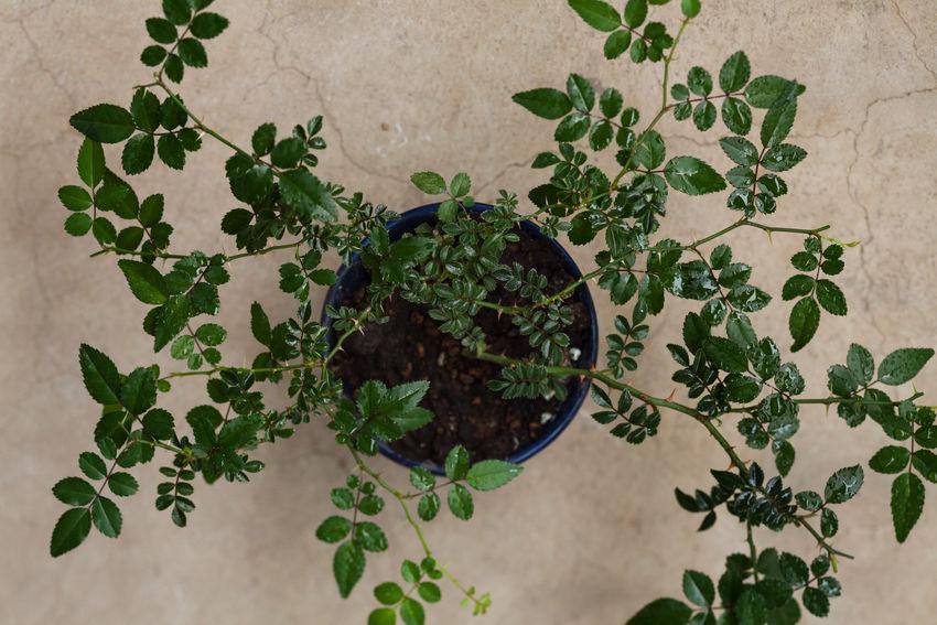 Wild Rose Plant, Bonsai, Gardening Beauty In Nature Bonsai Botanical Botanical Gardens Botany Foliage Garden Gardening Green Green Color Growing Growth Leaf Leaves Lush Foliage Natural Natural Beauty Nature Organic Plant Potted Plant Roses Stem Wild Rose