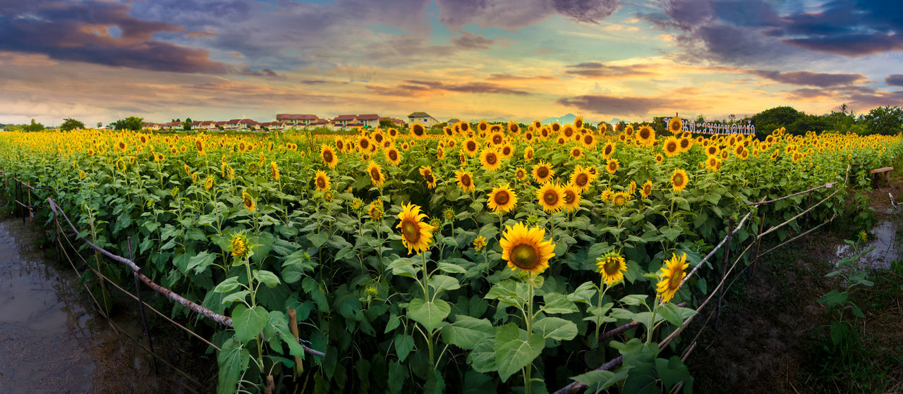 Sunflower Agriculture Beauty In Nature Cloud - Sky Day Field Flower Freshness Growth Landscape Nature No People Outdoors Plant Rural Scene Scenics Sky Sunset Tranquility Yellow ดอกทานตะวัน.🌻🌻 ทุ่งทานตะวัน