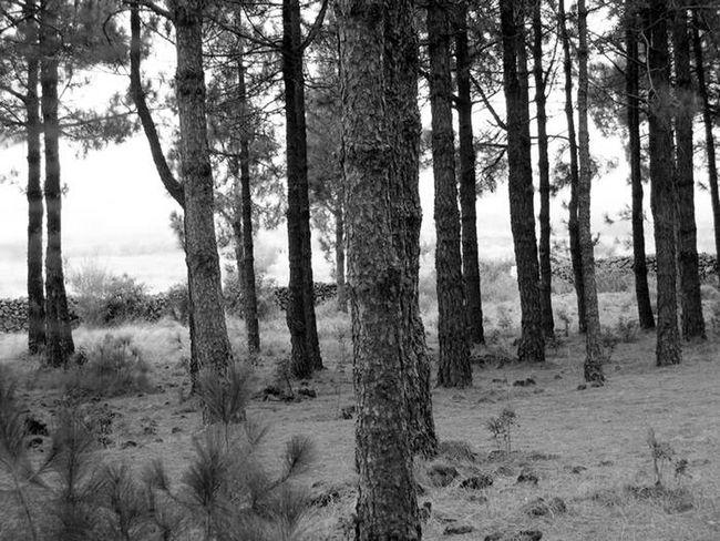 Arboles , Naturaleza BosquePinos Canarias Monochrome Black&white