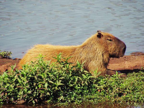 Capibara Animal Animal Themes Animal Wildlife Animals In The Wild Day Lake Nature No People One Animal Outdoors Water
