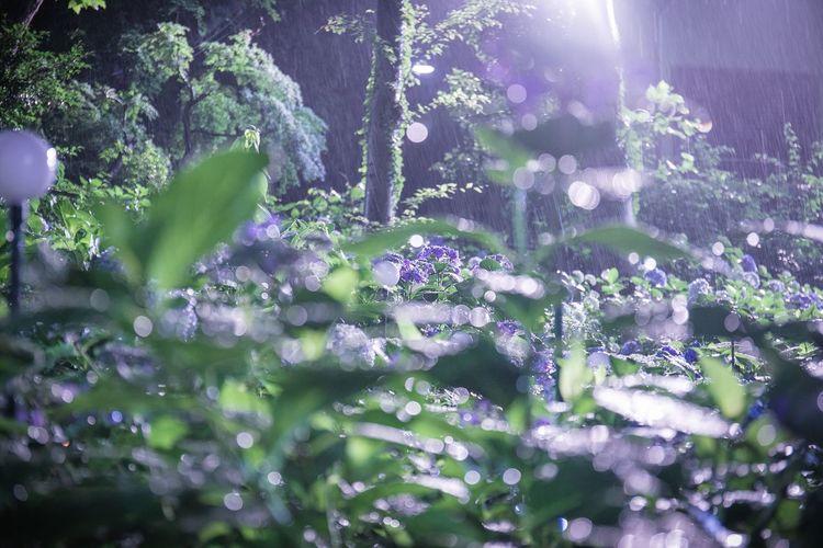 紫陽花は雨にうたれて元気になりつつ、まだ旬は続きます。 Plant Growth Beauty In Nature Freshness Nature Vulnerability  Selective Focus Flower Fragility Flowering Plant Sunlight No People Day Purple Outdoors Tree Close-up Tranquility Leaf Plant Part Lens Flare