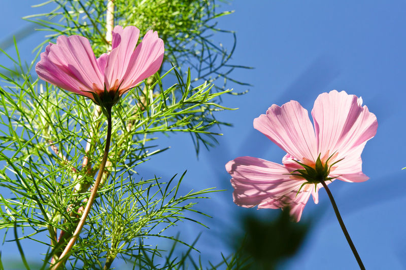 Crysanthemum Cosmea Autumn Autumn colors Plant Flowering Plant Flower Freshness Vulnerability  Fragility Petal Pink Color Beauty In Nature Inflorescence Flower Head Growth Close-up Nature No People Cosmos Flower Low Angle View Plant Stem Sunlight Day Pollen Outdoors Sepal Blue Background