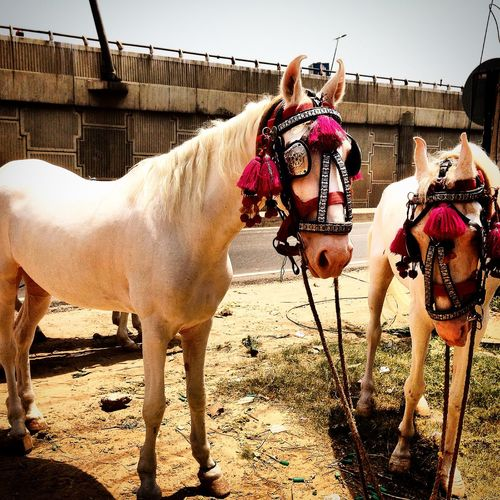 Horses Ready to take the Bride! Animal Head  Blinkers Bridle Day Decorated Horse Domestic Animals Gallery Ghoda Horse Cart Mammal Mare Marriage Ceremony Portrait Ride Sky Sunlight Working Animal