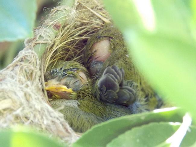 Australian Birds Australian Wildlife Baby Birds In Nest Natural Photography Nature On Your Doorstep Nature Photography Nature_collection Nestlings Silvereyes Wildlife & Nature Wildlifephotography