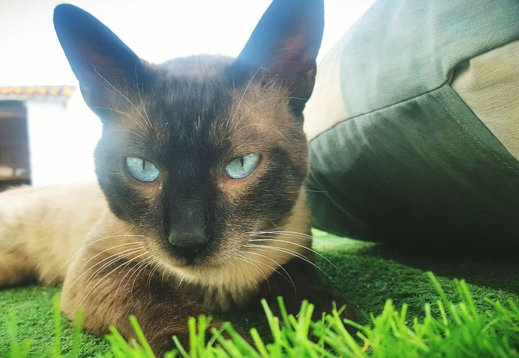 Pets One Animal Domestic Animals Mammal Animal Animal Themes Looking At Camera Portrait Dog Day No People Indoors  Close-up Cat Siamese Siamese Cat