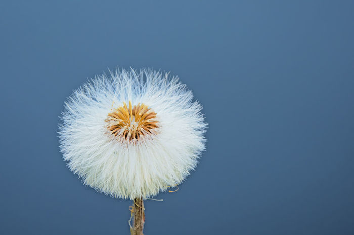 Perfect dandelion clock on a clear blu ky Dandelion Seed Beauty In Nature Blue Clear Sky Close-up Dandelion Flower Flower Head Fluffy Nature Nature Details Nature Lover Seed Head Summer