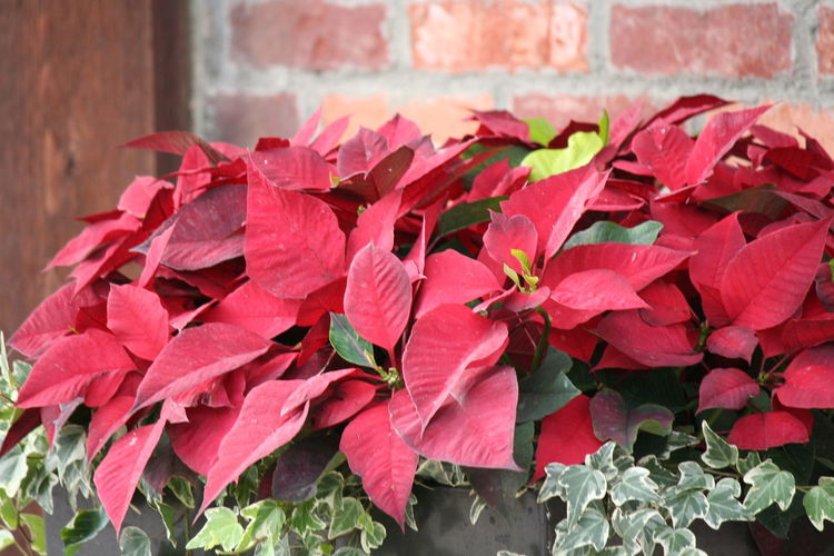 Poinsettia Plants Poinsettia Poinsettia Flower Red And Green Outdoors Outdoor Close-up Nature Growth Outdoor Photography Day Flowers Decoration Christmas Decorations Christmastime Natural